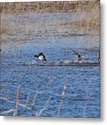 Cleared For Takeoff-ring-necked Ducks  Metal Print