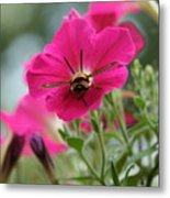 Clearwing Hummingbird Moth At Work In Patch Of Petunias Metal Print