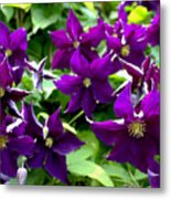 Clematis Flowers Metal Print by Corey Ford