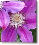 Clematis Flowers Metal Print