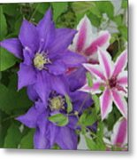 Clematis Purple And Pink White Metal Print