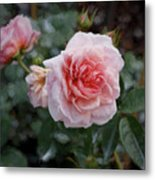 Climber Romantica Tea Rose, Digital Art Metal Print