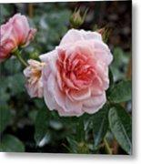 Climber Romantica Tea Rose Metal Print