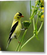 Clinging Goldfinch Metal Print