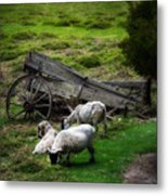 Clint's Sheep  Metal Print