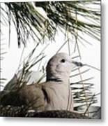Close Up African Collared Dove Metal Print
