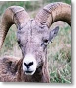 Close Up Big Horn Sheep Metal Print