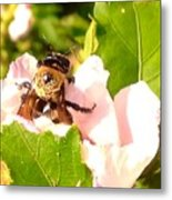 Close Up Bumble Bee Climbing Out Of Hibiscus Flower Metal Print