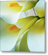Close Up Calla Lilies Metal Print