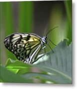 Close Up Look At A Paper Kite Butterfly On Foliage Metal Print