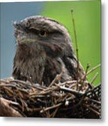 Close Up Look At A Tawny Frogmouth Sitting In A Nest Metal Print