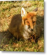 Close-up Of A Fox Resting In A Park Metal Print