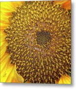 Close Up Of A Sunflower Head Metal Print