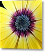 Close-up Of A Yellow African Daisy Metal Print
