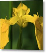 Close Up Of A Yellow Bearded Iris Metal Print