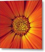 Close Up Of An Orange Daisy Metal Print