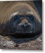 Close-up Of Elephant Seal Looking At Camera Metal Print