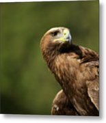 Close-up Of Golden Eagle With Head Turned Metal Print