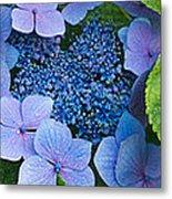 Close-up Of Hydrangea Flowers Metal Print