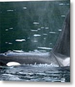Close-up Of Killer Whale In Johnstone Metal Print