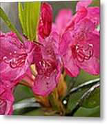 Close-up Of Pink Horatio Flowers Metal Print