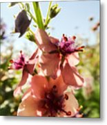 Close-up Of Pink Mullein Flowers Metal Print