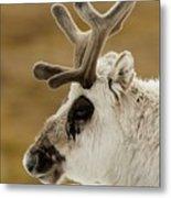 Close-up Of Reindeer Head On Snowy Ridge Metal Print