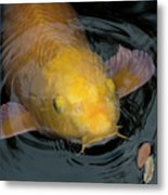 Close Up Of Single Large Yellow Koi Fish With Whiskers Metal Print