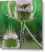Close Up Of Teasel Blossoms Revealing Metal Print