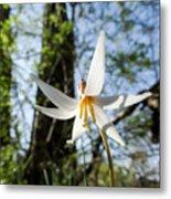 Close-up Of White Trout Lily Metal Print