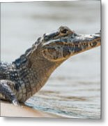 Close-up Of Yacare Caiman On Sandy Beach Metal Print