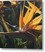Close Up Photo Of A Bee On A Bird Of Paradise Flower  Metal Print