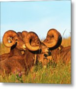 Close Up Portrait Group Of Big Bighorn Mountain Sheep Rams Metal Print