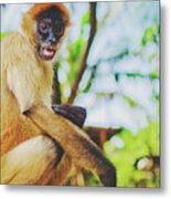 Close-up Portrait Of A Nicaraguan Spider Monkey Sitting And Looking At The Camera Metal Print