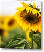 Close Up Single Sunflower In South Dakota Metal Print