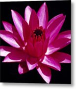 Close Up View Of A Red Water Lily Metal Print