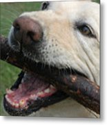 Close View Of A Yellow Lab With Worn Metal Print by Stacy Gold