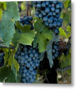 Close View Of Chianti Grapes Growing Metal Print by Todd Gipstein