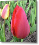 Closed Tulip Metal Print by Richard Mitchell