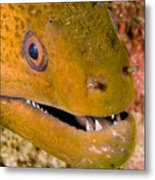 Closeup Of A Giant Moray Eel Metal Print