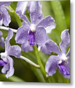 Closeup Of A Hybrid Cultivated Orchid Metal Print