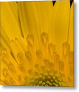 Closeup Of A Yellow Chrysanthemum Metal Print