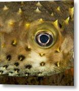 Closeup Of A Yellowspotted Burrfish Metal Print by Tim Laman
