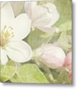 Closeup Of Apple Blossoms In Early Metal Print