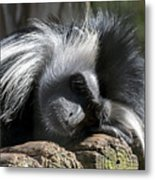 Closeup Of Black And White Angolian Primate Sleeping On Log Raft Metal Print
