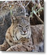 Closeup Of Bobcat Metal Print