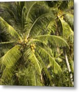 Closeup Of Coconut Palm Trees Metal Print