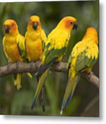 Closeup Of Four Captive Sun Parakeets Metal Print