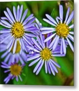 Closeup Of Leafy Bract Asters On Iron Creek Trail In Sawtooth National Wilderness Area-idaho  Metal Print