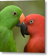 Closeup Of Male And Female Eclectus Metal Print